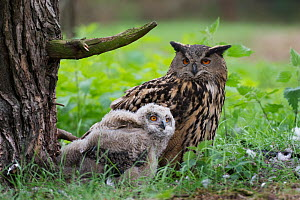 Eagle owl (Bubo bubo), adult and chick at nest, Netherlands. May. - Edwin Giesbers