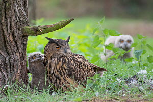 Eagle owl (Bubo bubo), adult and two chicks at nest, Netherlands. May. - Edwin Giesbers