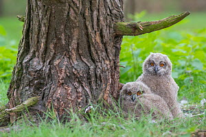 Eagle owl (Bubo bubo), two chicks at nest, Netherlands. May. - Edwin Giesbers
