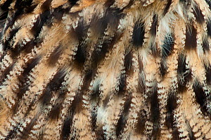 Eagle owl (Bubo bubo), close-up of plumage. Captive, Netherlands. August. - Edwin Giesbers