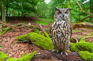 Eagle owl (Bubo bubo) adult perched on log. Captive, Netherlands. August 2011. - Edwin Giesbers