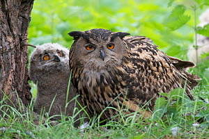 Eagle owl (Bubo bubo) adult and chick at nest, Netherlands. May. - Edwin Giesbers