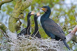 RF - Great cormorant (Phalacrocorax carbo) adult at nest with two chicks. Netherlands. May. (This image may be licensed either as rights managed or royalty free.) - Edwin Giesbers