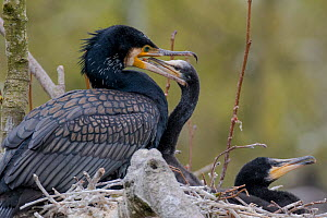 Great cormorant (Phalacrocorax carbo) on nest with chicks. Netherlands. May. - Edwin Giesbers
