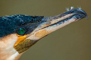 Great cormorant (Phalacrocorax carbo), close-up of head and beak in profile. Netherlands. April.  -  Edwin Giesbers