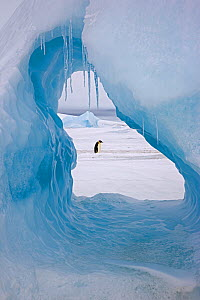 Emperor penguin (Aptenodytes forsteri) viewed through hole in iceberg at Snow Hill Island rookery, Antarctica. November.  -  Sue Flood