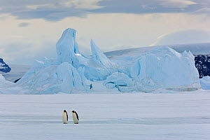 Emperor penguins (Aptenodytes forsteri) with iceberg at Snow Hill Island rookery, Antarctica. October.  -  Sue Flood