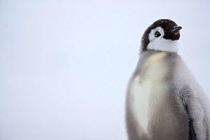 Emperor penguin (Aptenodytes forsteri) chick, Ross Sea, Antarctica  -  Sue Flood