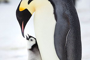 Emperor penguin (Aptenodytes forsteri) feeding chick, Gould Bay, Weddel Sea, Antarctica.  -  Sue Flood