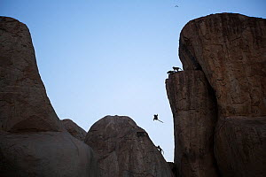 Bonnet macaques (Macaca radiata) jumping between boulders . Hampi, Karnataka, India. - Anup Shah
