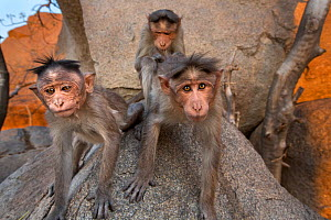 Bonnet macaques (Macaca radiata) watching with curiosity . Hampi, Karnataka, India. - Anup Shah