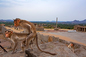 Bonnet macaques (Macaca radiata) pair mating near ruined temples . Hampi, Karnataka, India. - Anup Shah