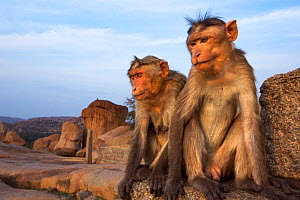 Bonnet macaque (Macaca radiata) male and female sitting on an ancient temple . Hampi, Karnataka, India. - Anup Shah