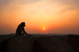Bonnet macaques (Macaca radiata) sitting on boulders at sunset . Hampi, Karnataka, India. - Anup Shah