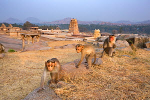 Bonnet macaque (Macaca radiata) juveniles approaching with curiosity . Hampi, Karnataka, India. - Anup Shah