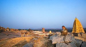 Bonnet macaque (Macaca radiata) female sitting on rocks with the Virupaksha Temple in the background . Hampi, Karnataka, India. - Anup Shah