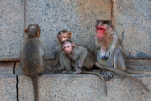 Bonnet macaques (Macaca radiata) huddled on a ledge . Hampi, Karnataka, India. - Anup Shah