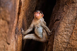 Bonnet macaque (Macaca radiata) female climbing down a rock crevasse . Hampi, Karnataka, India. - Fiona Rogers