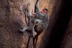 Bonnet macaque (Macaca radiata) female and baby climbing down a rockface . Hampi, Karnataka, India. - Fiona Rogers