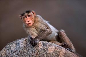 Bonnet macaque (Macaca radiata) male resting on a rock . Hampi, Karnataka, India. - Fiona Rogers