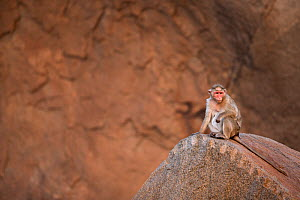 Bonnet macaque (Macaca radiata) female sitting on a carved rock . Hampi, Karnataka, India. - Fiona Rogers