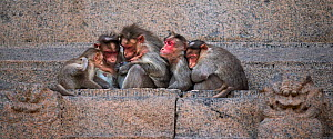 Bonnet macaques (Macaca radiata) huddled on a ledge . Hampi, Karnataka, India. - Fiona Rogers