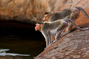 Bonnet macaques (Macaca radiata) showing aggression towards a macaque from another group . Hampi, Karnataka, India. - Fiona Rogers