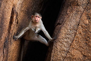 Bonnet macaque (Macaca radiata) female descending a rocky crevasse . Hampi, Karnataka, India. - Fiona Rogers