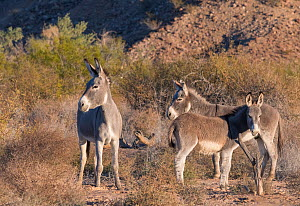 Feral donkies (Equus asinus) surviving along the lower Colorado River drainage. Periodic attempts to control their numbers have had mixed success. Cibola National Wildlife Refuge, Arizona, USA. - Jack Dykinga