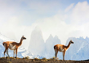 Two Guanacos (Lama guanicoe), against mountains, Torres del Paine National Park, Chile. - Jack Dykinga