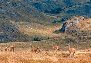Guanacos (Lama guanicoe) in afternoon light on the Chacabuco grasslands. Aysén Province, Chile. - Jack Dykinga