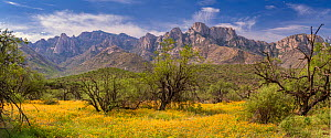 Caltrops summer poppies (Kallstroemia grandiflora) blooming amid mesquite trees (Prosopis sp.) infront of the Santa Catalina Mountains. July, after summer monsoon rains. Catalina State Park, near Tucs... - Jack Dykinga