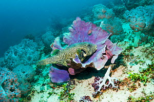 Map puffer (Arothron mappa) at rest on a sponge. West Papua, Indonesia. - Georgette Douwma