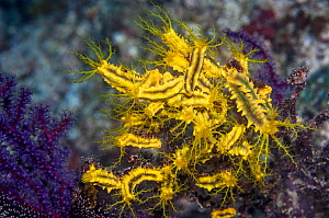 Yellow sea cucumbers (Colochirus robustus) feeding in current. Triton Bay, West Papua, Indonesia.  -  Georgette Douwma