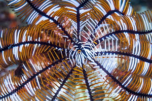 Close up of Crinoid or Featherstar. Philippines.  -  Georgette Douwma
