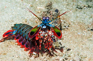 RF - Mantis shrimp (Odontodactylus scyllarus) on walk about on coral reef. Puerto Galera, Philippines. (This image may be licensed either as rights managed or royalty free.)  -  Georgette Douwma