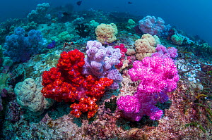 RF - Soft corals (Dendronephthya sp.) on coral reef. West Papua; Indonesia. (This image may be licensed either as rights managed or royalty free.) - Georgette Douwma