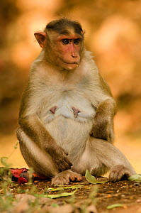 Bonnet macaque (Macaca radiata), female sitting. Dandeli Wildlife Sanctuary, Karnataka, India. - Ashish & Shanthi Chandola