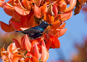 Purple sunbird (Cinnyris asiaticus) amongst orange flowers. Bandipur National Park, Nilgiri Biosphere Reserve, Karnataka, India. - Ashish & Shanthi Chandola