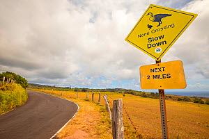 Road sign warning drivers that Nene goose (Branta sandvicensis), are found in the area. East end of Molokai, Hawaii. July 2017. - David Fleetham