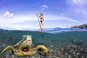 Green sea turtle (Chelonia mydas) surfacing for breath with woman on stand-up paddle board in background. Maui, Hawaii. Model released. Digital composite. - David Fleetham