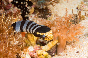 Banded yellowlip sea snake / krait (Laticauda colubrina) in coral reef, Philippines.  -  David Fleetham