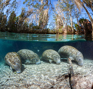 Florida manatee (Trichechus manatus latirostris), four resting on sandy river bed. Split level image. Three Sisters Spring, Crystal River, Florida, USA. - David Fleetham