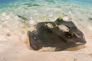Jack (Caranx sp), shoal of juveniles following Southern stingray (Dasyatis americana), searching for prey. Bahamas. - David Fleetham