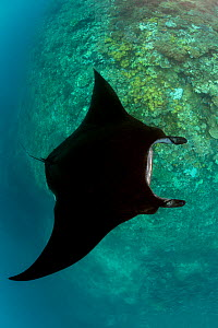 Reef manta ray (Manta alfredi) with black colour variation cruising over coral drop off. Fiji. - David Fleetham