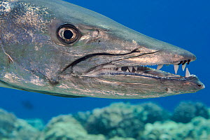 Great barracuda (Sphyraena barracuda) with three parasitic Copepods at end of upper jaw. Hawaii. - David Fleetham