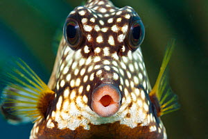 Smooth trunkfish (Lactophrys triqueter), portrait. Bonaire, Dutch Caribbean. - David Fleetham