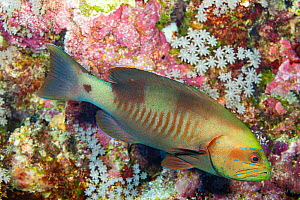 White square cod / grouper (Gracila albomarginata) in coral reef. Yap, Micronesia. - David Fleetham