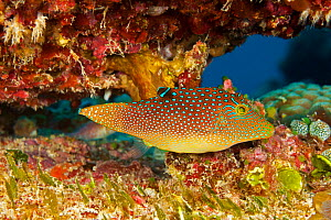 Netted pufferfish / Spotted toby (Canthigaster solandri). Yap, Micronesia. - David Fleetham