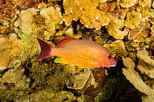Blacktail snapper (Lutjanus fulvus) in coral reef. Kauai, Hawaii. - David Fleetham
